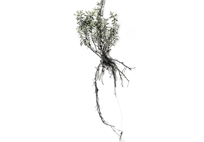 Thumb roots thyme 01